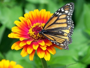 monarch-18140_1280
