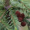 spruce-tree-100x100